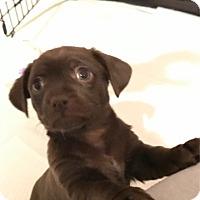 Adopt A Pet :: Dolce - Las Vegas, NV