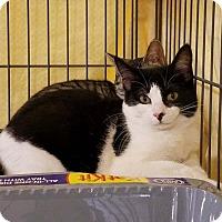 Adopt A Pet :: Oriana - Lombard, IL