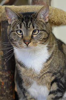 Domestic Shorthair Cat for adoption in Atlanta, Georgia - Lana  160054