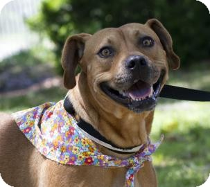 Boxer/American Pit Bull Terrier Mix Dog for adoption in Gainesville, Florida - Julianna