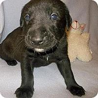 Adopt A Pet :: BEAR - Shirley, NY