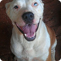 American Staffordshire Terrier Mix Dog for adoption in Blanchard, Oklahoma - Lady