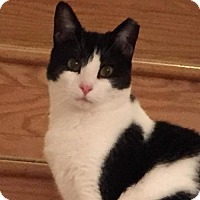 Domestic Shorthair Cat for adoption in Marlboro, New Jersey - Missy