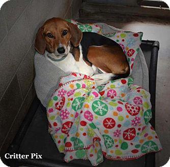 Foxhound Dog for adoption in Waldron, Arkansas - Princess