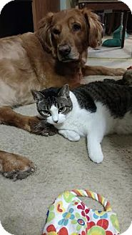 Domestic Shorthair Cat for adoption in St. Louis, Missouri - Cricket