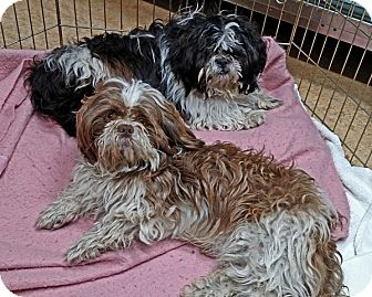 Lhasa Apso Mix Dog for adoption in San Jose, California - Gideon