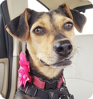 Beagle Mix Dog for adoption in Homewood, Alabama - Sally