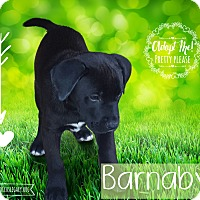 Adopt A Pet :: Barnaby - West Hartford, CT