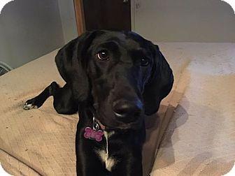 Doberman Pinscher/Pointer Mix Dog for adoption in Snyder, Texas - Tippi