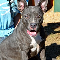 American Pit Bull Terrier Mix Dog for adoption in Jackson, Mississippi - Makayla