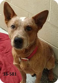 Australian Cattle Dog Mix Dog for adoption in Cannelton, Indiana - Ivin
