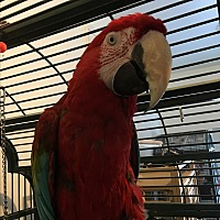 Macaw for adoption in Punta Gorda, Florida - Mr T
