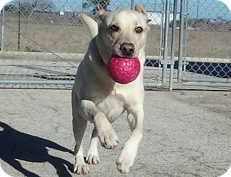 Labrador Retriever Mix Dog for adoption in Seguin, Texas - Louie