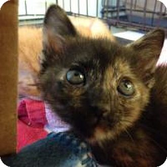 Domestic Shorthair Cat for adoption in Port Richey, Florida - Tina