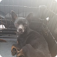 Chihuahua Mix Dog for adoption in Greenville, North Carolina - Noble