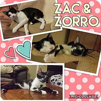 Domestic Shorthair Kitten for adoption in Keller, Texas - Zorro