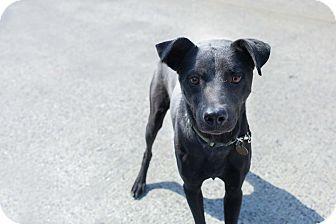 Labrador Retriever Mix Dog for adoption in Washington, D.C. - Charlie