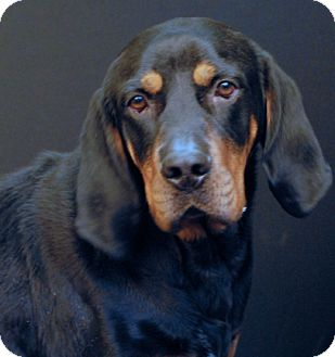 Black and Tan Coonhound Dog for adoption in Newland, North Carolina - Lucas