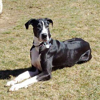 Great Dane Mix Dog for adoption in Lucknow, Ontario - Stella ** adoption pending *