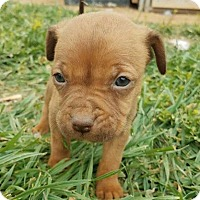 Adopt A Pet :: Danica - New Milford, CT