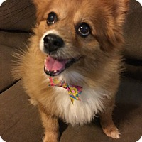 Adopt A Pet :: Roxy2 - Las Vegas, NV