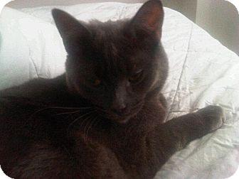 Domestic Shorthair Cat for adoption in Toronto, Ontario - Otis