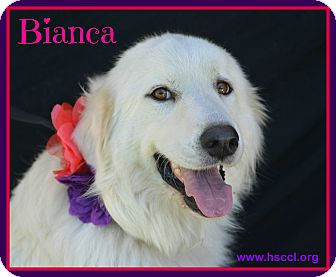 Great Pyrenees Mix Dog for adoption in Plano, Texas - Bianca