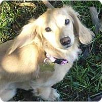 Adopt A Pet :: CeCe - San Jose, CA