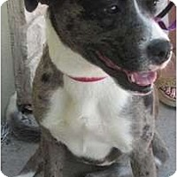 Adopt A Pet :: Faith - Arlington, TX