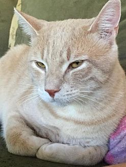 Domestic Shorthair Cat for adoption in New City, New York - Sunny Delight