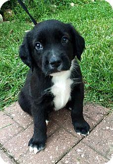 Newfoundland/American Pit Bull Terrier Mix Puppy for adoption in Dayton, Ohio - Nighthawk