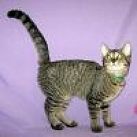 Domestic Shorthair Cat for adoption in Powell, Ohio - Fiona