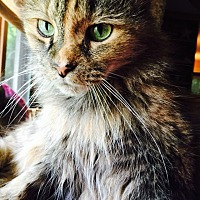 Domestic Mediumhair Cat for adoption in Waynesville, North Carolina - Molly