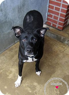 Labrador Retriever Mix Dog for adoption in Sidney, Ohio - Marge