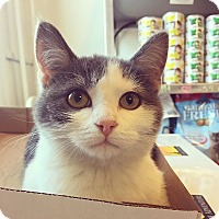 Domestic Shorthair Kitten for adoption in Baltimore, Maryland - Bob