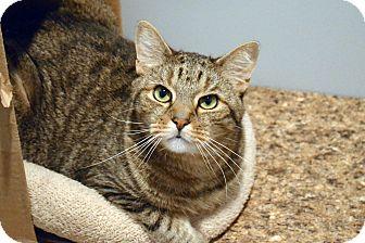 Domestic Shorthair Cat for adoption in Lincoln, Nebraska - Isaac