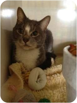 Domestic Shorthair Cat for adoption in Wenatchee, Washington - Ashlund