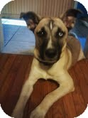 Akita/Husky Mix Dog for adoption in Jersey City, New Jersey - NOVA *courtesy post*