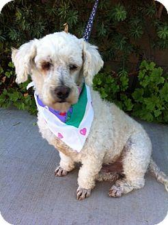 Scottie, Scottish Terrier/Poodle (Miniature) Mix Dog for adoption in El Cajon, California - BO, watch my video!