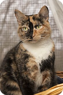 Calico Cat for adoption in Lombard, Illinois - Tululah
