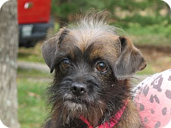Terrier (Unknown Type, Small)/Yorkie, Yorkshire Terrier Mix Dog for adoption in Washington, D.C. - Chelsey