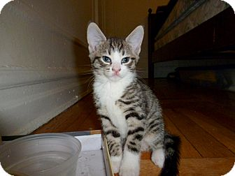 Domestic Shorthair Kitten for adoption in Brooklyn, New York - Bedford