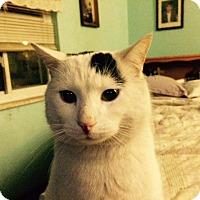 Domestic Shorthair Cat for adoption in Delmont, Pennsylvania - Calvin