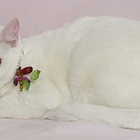 Domestic Shorthair Cat for adoption in Kerrville, Texas - Ann