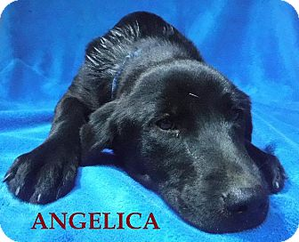 Labrador Retriever/Golden Retriever Mix Dog for adoption in Batesville, Arkansas - Angelica