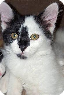 Domestic Shorthair Kitten for adoption in Eureka, California - Lefty