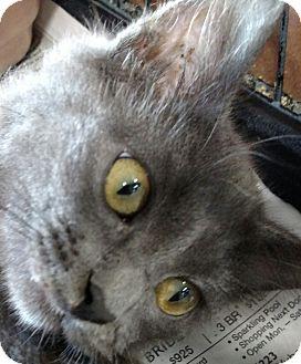 Domestic Shorthair Kitten for adoption in Yuba City, California - Mariah