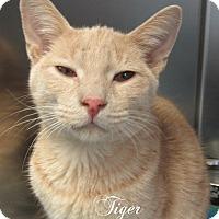 Adopt A Pet :: Tiger - Jackson, NJ