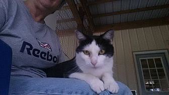 Domestic Shorthair Cat for adoption in Jackson, Missouri - Pipi Long Stocking