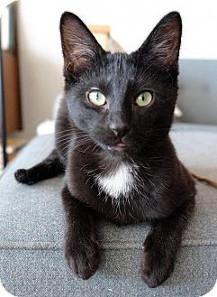 Domestic Shorthair Cat for adoption in Brooklyn, New York - Reuben